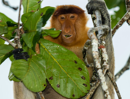 proboscis: Proboscis Monkey feeding in a thunder storm Stock Photo