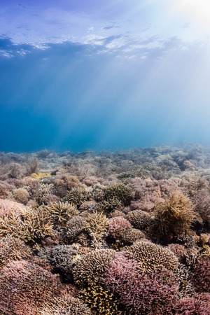 Sunrays illuminate multi colored hard corals on a tropical reef photo