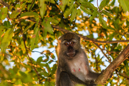tailed: Long Taile Macaque in a tree Stock Photo