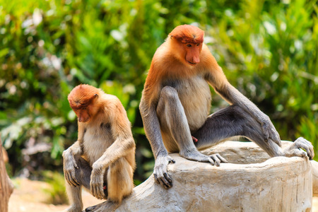 proboscis: Proboscis Monkeys