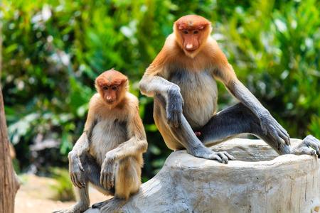 proboscis: A Family of Proboscis Monkeys Stock Photo