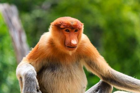 proboscis: Female Proboscis Monkey