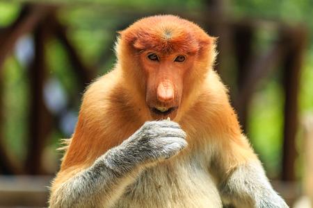 proboscis: Female Proboscis Monkey feeding