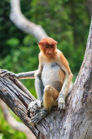 sandakan: Female Pronoscis Monkey in a tree