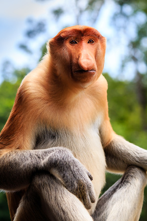 sandakan: Rare female Proboscis Monkey in the rainforest of Borneo