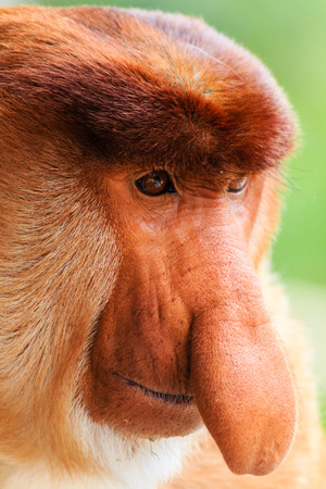 Close up of a male Proboscis Monkey in Borneo photo