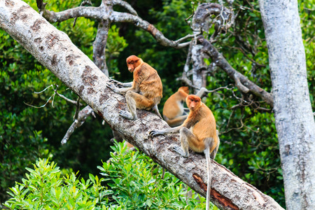 Family of Proboscis Monkeys on a tree in the mangrove forest of northern Borneo