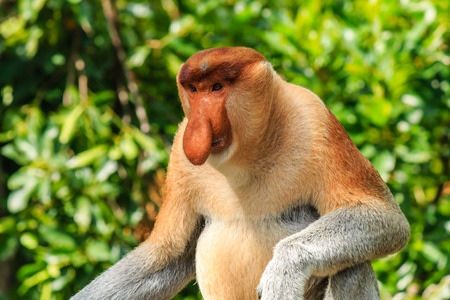 Male Proboscis Monkey in the mangrove swamps photo