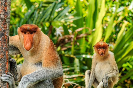 Male and female Proboscis Monkeys in the mangrove area of rainforest photo