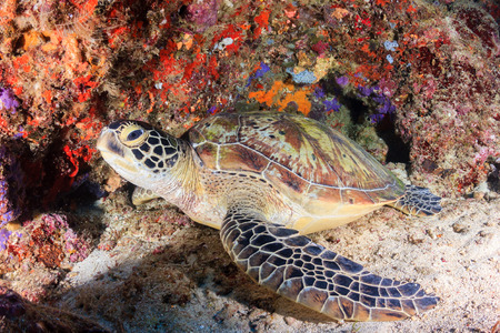 chelonia: Sea turtle inside a small underwater cave Stock Photo