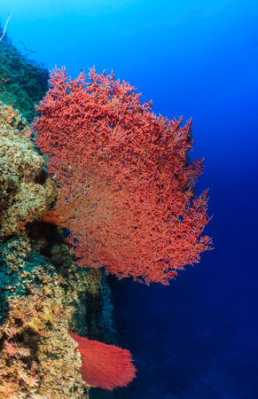 Pink sea fans on a coral reef wall photo