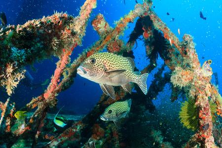 sweetlips: Tropical fish around an underwater wreck