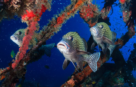 wrasse: Three colorful Harlequin Sweetlips on a tropical coral reef