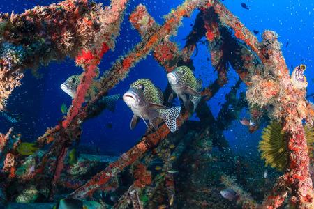 sweetlips: Several sweetlips and glassfish underwater