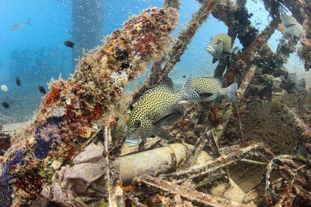 sweetlips: Sweetlips and glassfish on an underwater wreck Stock Photo