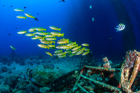rabbitfish: Colorful tropical fish and SCUBA divers swim around the manmade debris of an abandoned oil rig