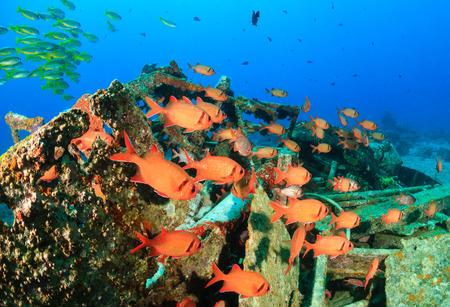 school of fish: Soldierfish shoal around metal wreckage Stock Photo