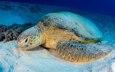 interraction: Small Green Turtle on a sandy seabed