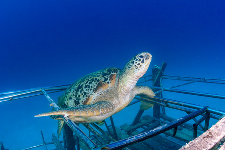 interraction: Sea turtle resting on an artificial reef in asia