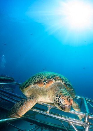 interraction: Green Turtle sat on a new artificial reef with a tropical sunburst behind Stock Photo