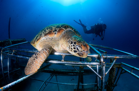 Green Turtle on an artificial reef with SCUBA diver behind photo