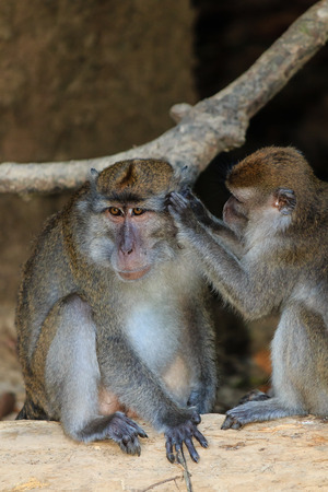 tends: Female Macaque tends to the wounds of an injured male Stock Photo