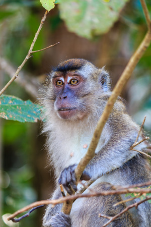 Female Macaque watching from a tree photo