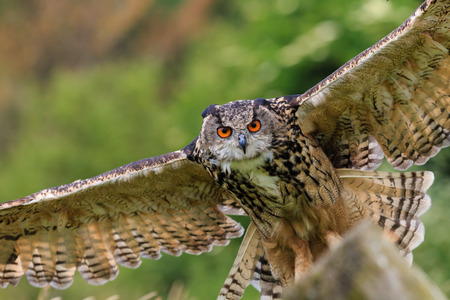 Eagle Owl swoops low over a field photo