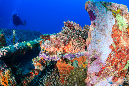 Scorpion Fish hiding on a metal wreck with a SCUBA diver in the background photo