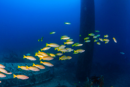 rabbitfish: Snapper swim around the legs of a disused oilrig Stock Photo