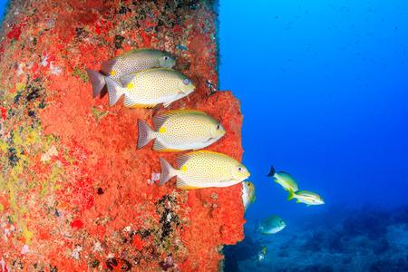sweetlips: Fish Stock Photo