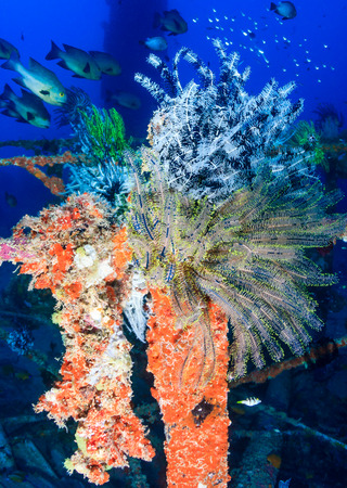 Glassfish and colorful feather stars on underwater wreckage Stock Photo - 29527075