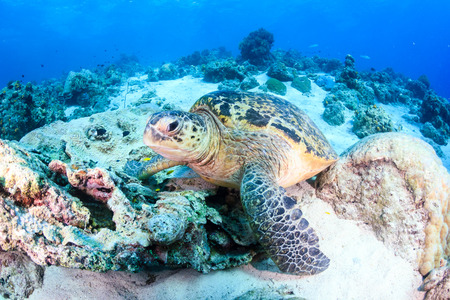 interraction: Green Turtle on a dark coral reef
