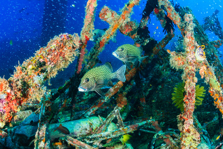 wrasse: Multitude of colorful tropical fish underwater