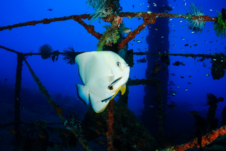 longfin: Longfin Batfish  Spadefish  with Cleaner Wrasse on an undersea wreck Stock Photo
