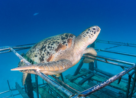 interraction: Green Turtle sat on a new artificial reef