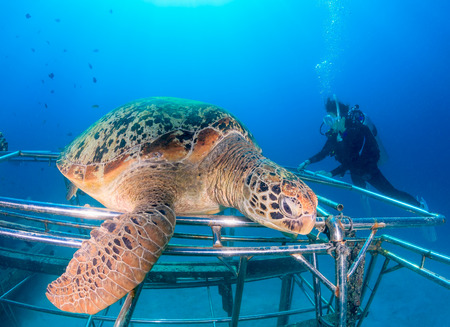 interraction: Female diver watching a Green Turtle resting on an artificial reef