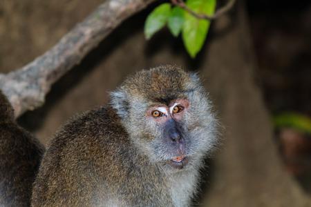 Macaque in the jungles of Borneo photo