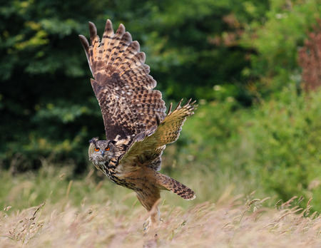Eagle Owl flying low over a grassy field