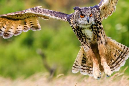 독수리 올빼미 낮은 사냥 먹이에 급습