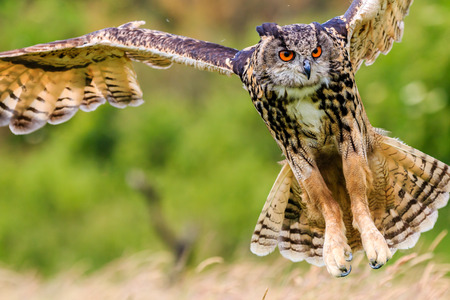 Eagle Owl swoops in low hunting its prey Imagens - 29527232