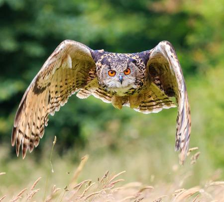 Uhu fliegt niedrig über einen langen grünen Wiese