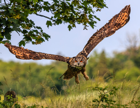 Eagle Owl flying low over a hedge
