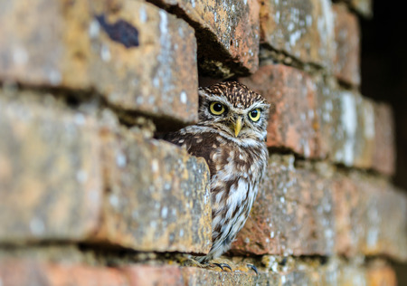 Little Owl hiding in a hole in a brick wall photo