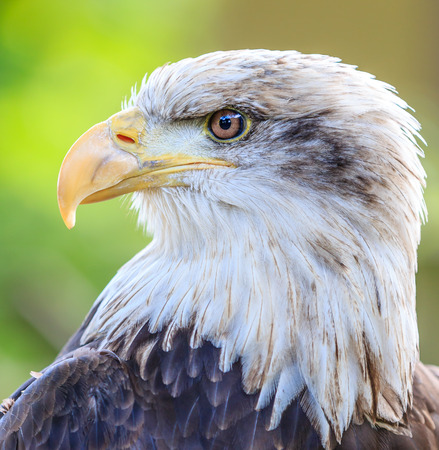 Close up of the head of a Bald Eagle photo