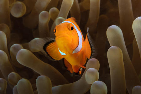 clown fish: Pacific Clownfish hides in the protective tentacles of its home anemone