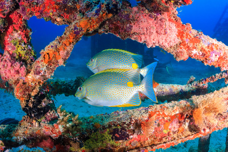 wrasse: Tropical fish around a coral encrusted underwater wreck Stock Photo