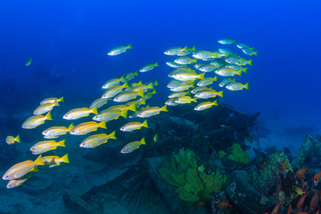 rabbitfish: Shoal of Snapper over an underwater wreck