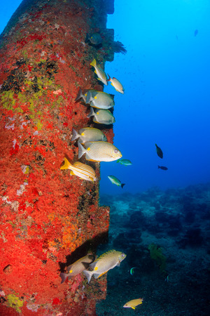 sweetlips: Tropical fish around the legs of an oil rig