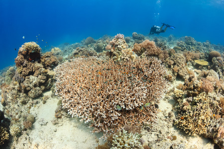 SCUBA diver swimming over a clear, shallow coral reef